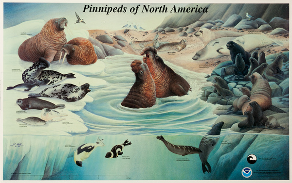 NOAA Pinnipeds of North America, Original US Department of Commerce National Oceanic and Atmospheric Admninstration Poster