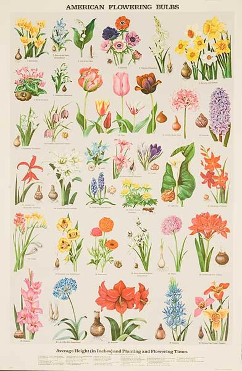 American Flowering Bulbs Original Education Poster