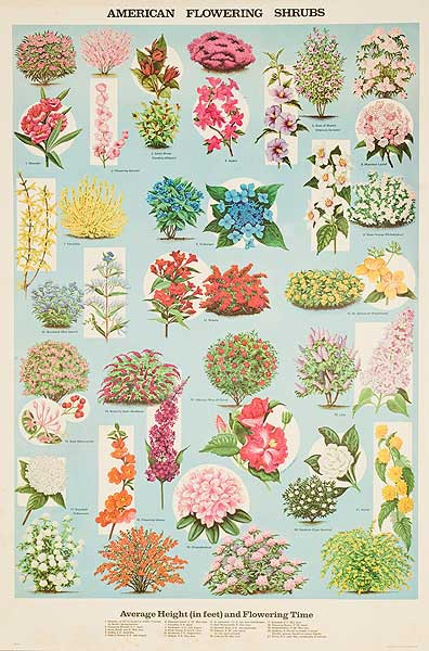 American Flowering Shrubs Original Education Poster