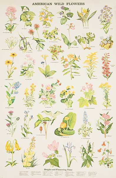 American Wild Flowers Original Education Poster