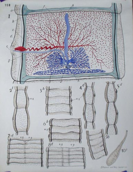 French School Botanical Chart Cell Wall