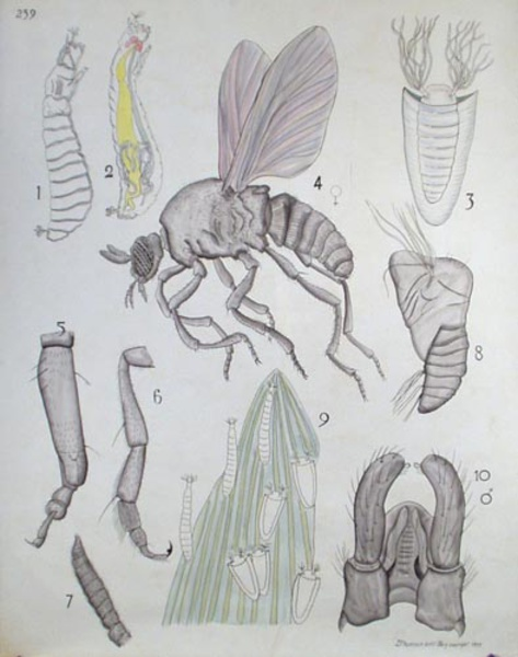 French School Biological Chart Insect Fly