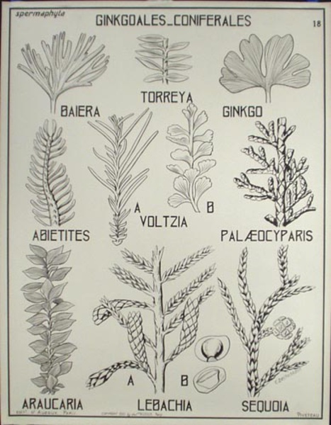 French School Botanical Chart Ginkoales Coniferales