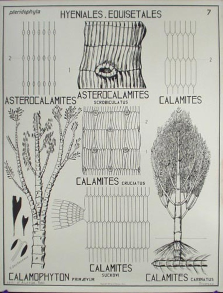 French School Botanical Chart Hyeniales Equisetales