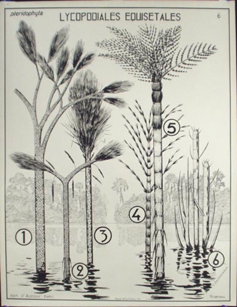 French School Botanical Chart Lycopodiales Equisetales