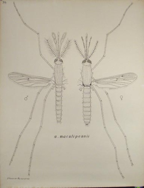 French School Biological Chart Mosquito male female