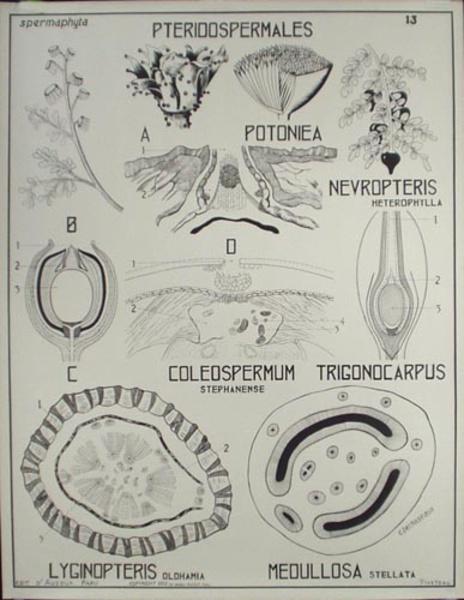 French School Botanical Chart Pteridospermales