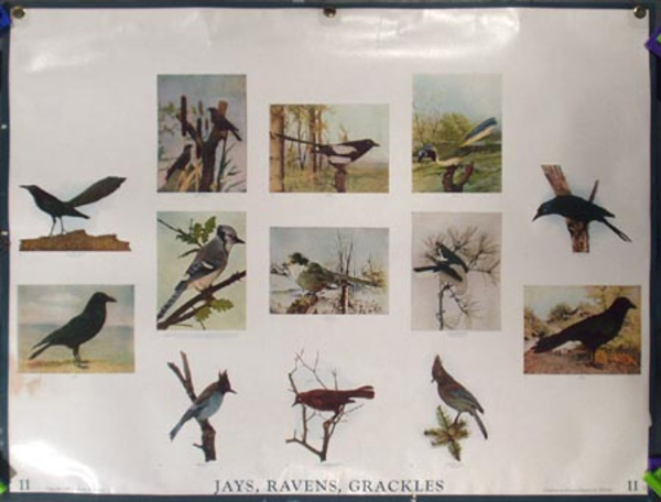 Original School Educational Vintage Poster #11 Jays Ravens Grackles