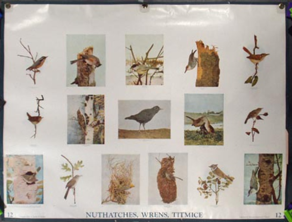 Original School Educational Poster #12 Nuthatches, Wrens Titmice
