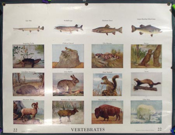 Original School Educational Vintage Poster #22 Vertebrates