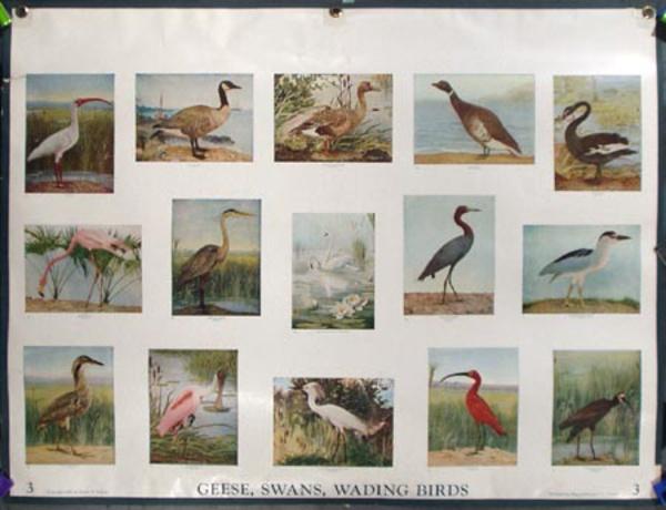 Original School Educational Vintage Poster #3 Geese, Swans, Wading Birds