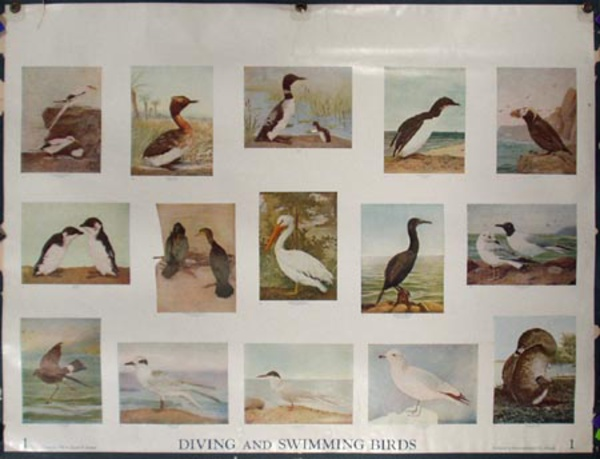 Original School Educational Vintage Poster #1 Diving and Swimming Birds