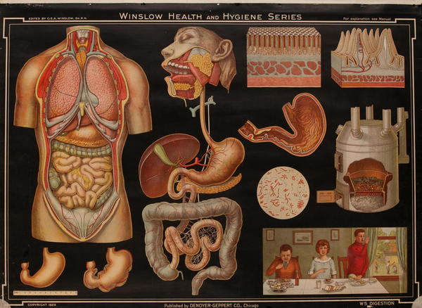 Winslow Health and Hygiene Series Poster, W5 Digestion