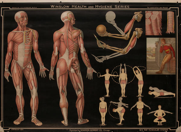 Winslow Health and Hygiene Series Poster, W3 The Muscular System