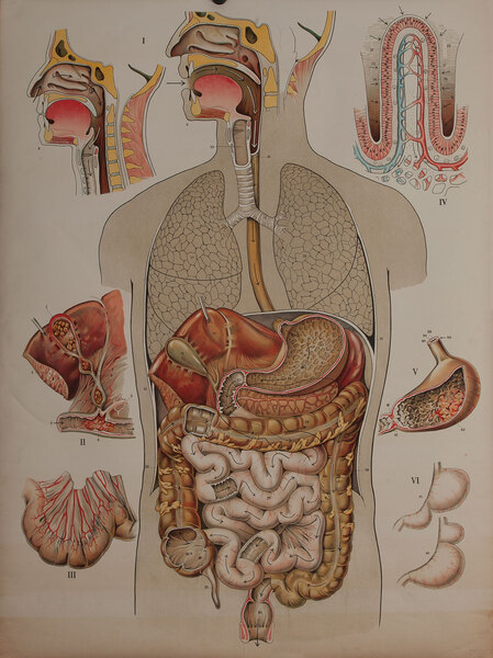 Turn of the Century Medical Chart, Digestive Track