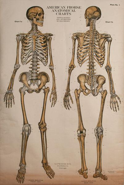 Turn of the Century Medical Chart, Human Skeleton