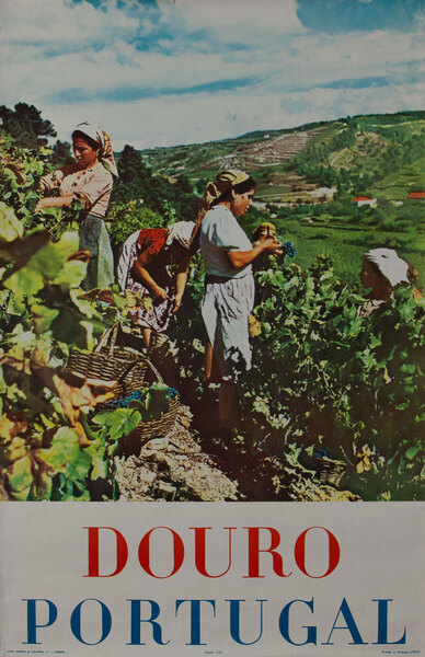 Douro Portugal Grape Picking Photo