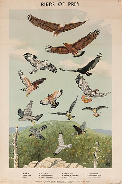 Audubon Society Original Birds Of Prey Poster