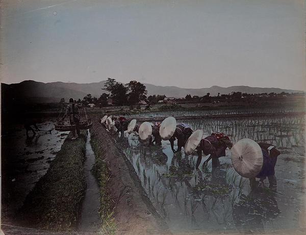 Meiji Era Hand Colored Japanese Albumen Photograph Planting Rice