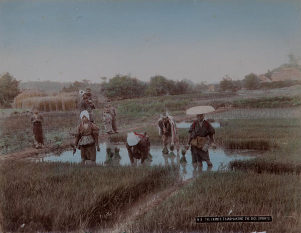 Meiji Era Hand Colored Japanese Albumen Photograph N 8 The Farmer Transplanting the Rice Sprouts